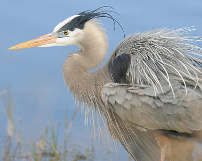 Photograph - Great Blue Heron by Bradford Martin