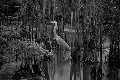 Photograph - Great Blue Heron Bw 15-01 by Maria Urso