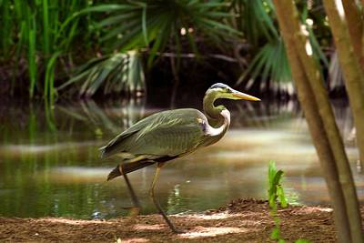 Photograph - Great Blue Heron By Pond by Marilyn Burton