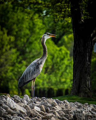 Photograph - Great Blue Heron Call by Ronald Grogan