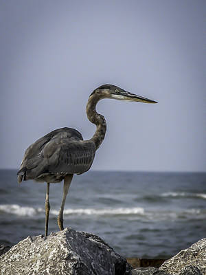 Photograph - Great Blue Heron by CarolLMiller Photography
