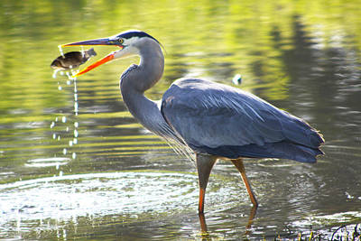 Photograph - Great Blue Heron Catching Fish by Diana Haronis