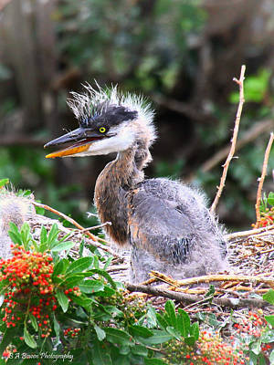 Photograph - Great Blue Heron Chick by Barbara Bowen
