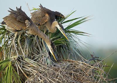 Great Blue Heron Chicks In Nest Looking Art Print