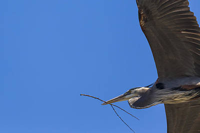 Photograph - Great Blue Heron Close Up by Jack R Perry