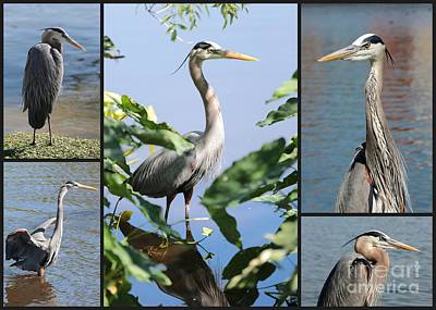 Photograph - Great Blue Heron Collage by Carol Groenen