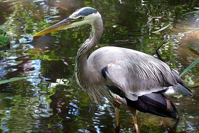 Photograph - Great Blue Heron - Colorful Reflections by Marilyn Burton