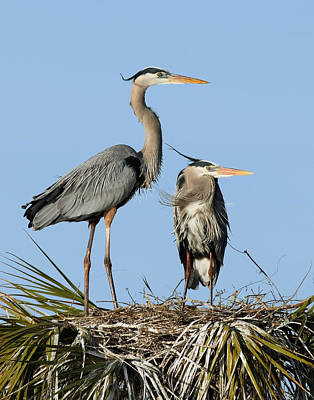 Photograph - Great Blue Heron Couple II by Dawn Currie