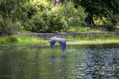 Photograph - Great Blue Heron by D Wallace