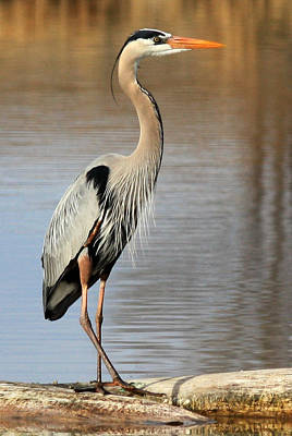 Photograph - Great Blue Heron by Shane Bechler