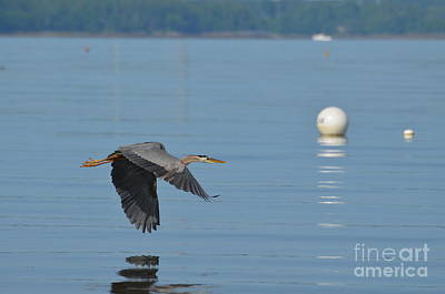 Great Blue Heron  Art Print by DejaVu Designs