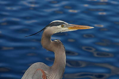 Photograph - Great Blue Heron by Denise Mazzocco