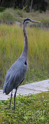 Photograph - Great Blue Heron by Diane Macdonald