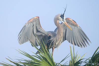 Photograph - Great Blue Heron Displaying by Bradford Martin