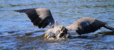 D Wade Photograph - Great Blue Heron Dive by Dan Sproul