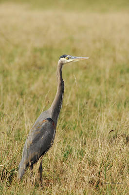 Photograph - Great Blue Heron by Donna Blackhall