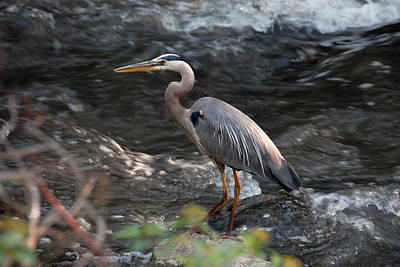 Photograph - Great Blue Heron by Dragan Kudjerski