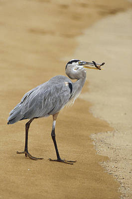 Green Sea Turtle Photograph - Great Blue Heron Eating Green Sea by Konrad Wothe