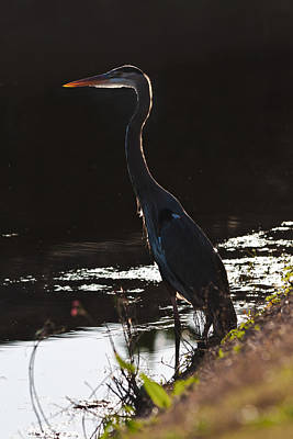Photograph - Great Blue Heron by Ed Gleichman