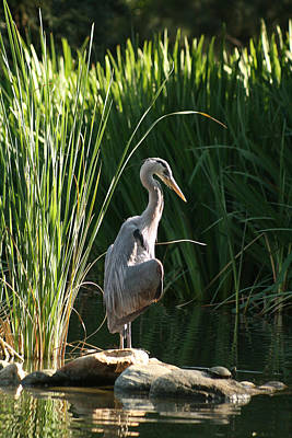Great Blue Heron Print by Ellen Henneke