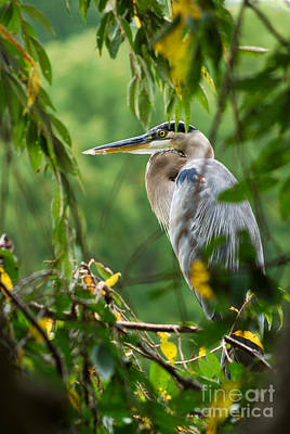 Photograph - Great Blue Heron by Eva Kaufman