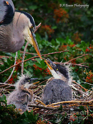 Photograph - Great Blue Heron Family by Barbara Bowen