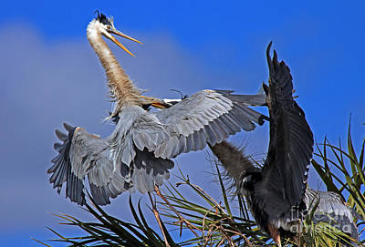 Great Blue Heron Fight  Art Print by Larry Nieland