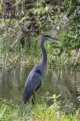 Photograph - Great Blue Heron Fishing by rd Erickson