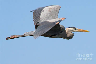 Print featuring the photograph Great Blue Heron Flying by Bob and Jan Shriner