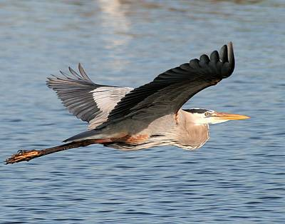 Photograph - Great Blue Heron Flying by Ira Runyan