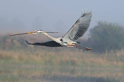 Photograph - Great Blue Heron Flying With Stick by Bradford Martin