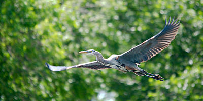 Great Blue Heron Gaining Altitude Art Print by Roy Williams