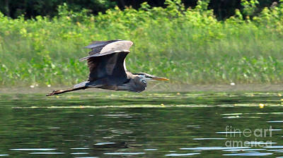 Photograph - Great Blue Heron by Glenn Gordon