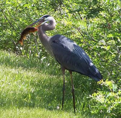 Great Blue Heron Grabs A Meal Art Print by Christina Shaskus