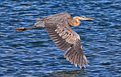 Photograph - Great Blue Heron by HH Photography of Florida
