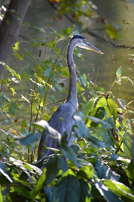Photograph - Great Blue Heron II At Sunset by Maria Urso