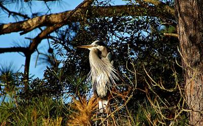 Great Blue Heron In A Tree - # 23 Art Print by Paulette Thomas