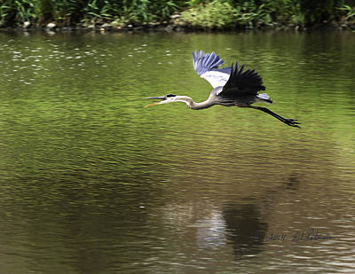 Photograph - Great Blue Heron In Flight 2 by Edward Peterson