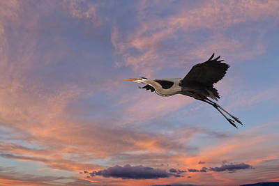 Photograph - Great Blue Heron In Flight by Kathleen Bishop