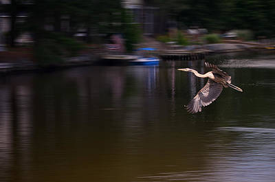 Bemis Photograph - Great Blue Heron In Flight by Kim Bemis