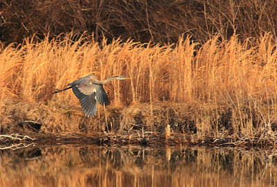 Photograph - Great Blue Heron In Flight by Scott Rackers