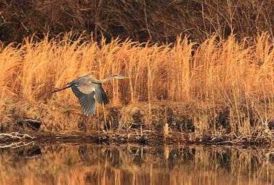 Photograph - Great Blue Heron In Flight by Scott Rackers