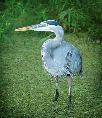 Photograph - Great Blue Heron In Florida River by Rebecca Brittain