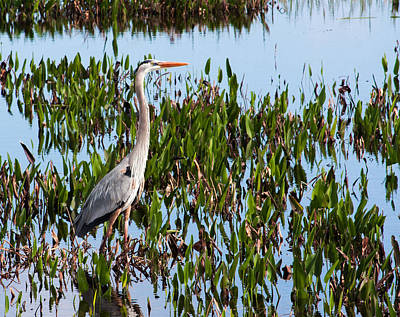 Great Blue Heron In Pickerelweed Art Print