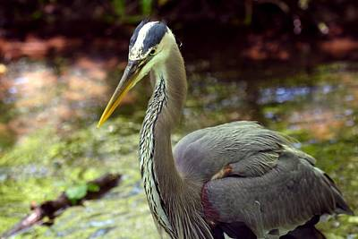 Photograph - Great Blue Heron In Pond by Marilyn Burton