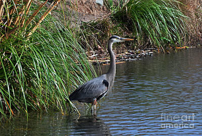 Photograph - Great Blue Heron In Profile by Susan Wiedmann