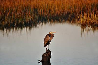 Great Blue Heron In The Marsh - # 20 Art Print by Paulette Thomas
