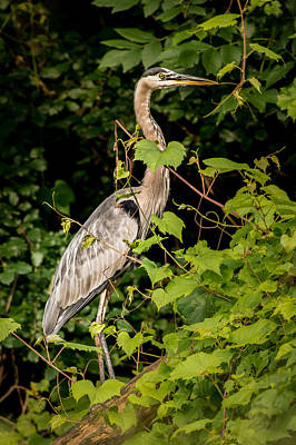 Photograph - Great Blue Heron In The Woods by  Onyonet  Photo Studios