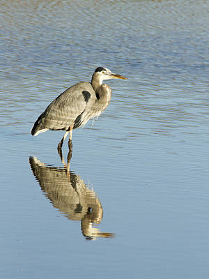 Photograph - Great Blue Heron by Jean Noren
