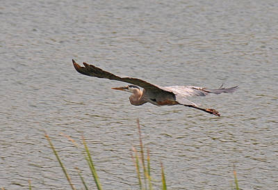 Photograph - Great Blue Heron by John Black